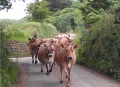 The cows coming home for milking