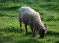 The Wiltshire horn sheep- easy to keep because they shed their wool in the spring