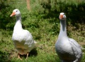 The geese are very talkative and usually waddle up to have a chat.