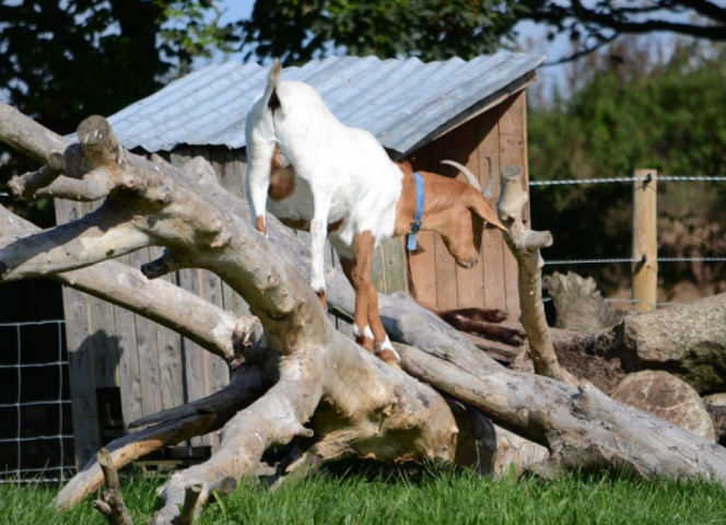 The goats are remarkably Agile, and can climb trees.