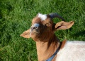 Tanning - goat style!!